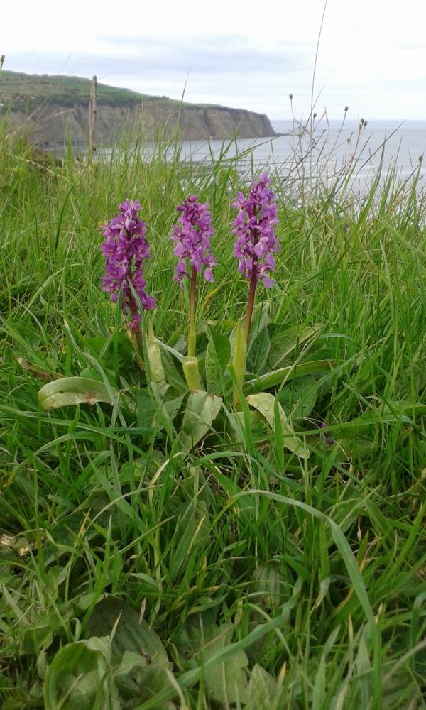 Early Purple Orchids on the Cleveland Way