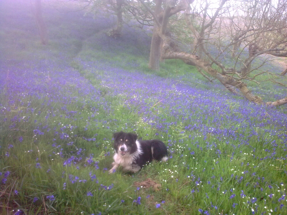Bluebells and Bob in Raindale
